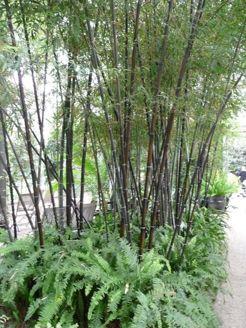 v ce i m n zimovzdorn bambusy my a zahrada. Black Bedroom Furniture Sets. Home Design Ideas