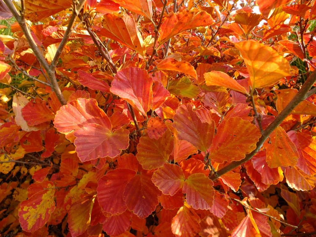 Hamamelisvernalis-list podzim