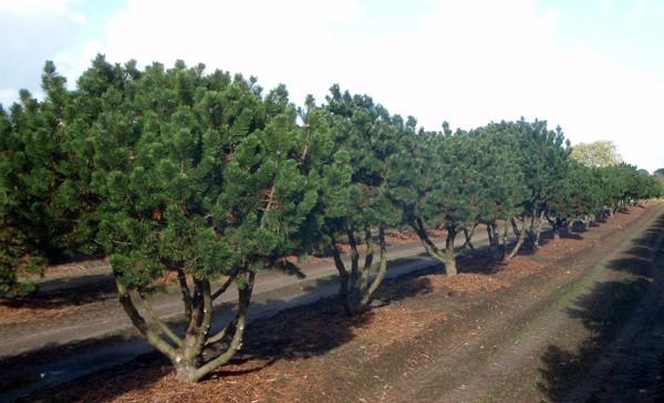 Pinus mugo GnomV250Š300