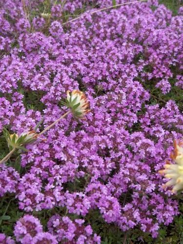 thymus-serpyllum-purpurviolett