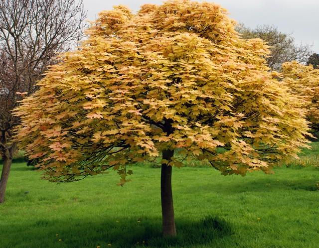 Acer-pseudoplatanus-Brilliantissimum