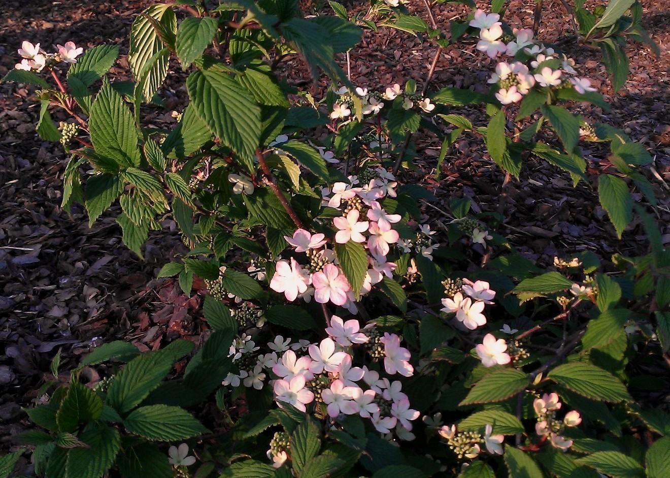 V.plicatum Pink Beauty1a
